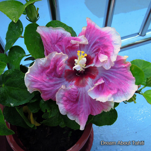 Dream About Tahiti Taiwan Hibiscus - Linda Lee